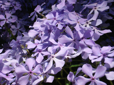 8 Perennial Creeping Phlox Lavender Live Plants Ground Cover - Fast Shipping