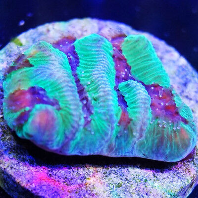 Fish & Aquariums Cfl Live Coral Wysiwyg Lime Green Toxic Splatter Hammer Coral For Less Pet Supplies