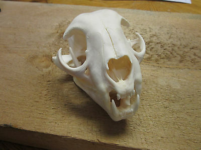 Bobcat Skull from Montana HUGE XXL Skull with all teeth cleaned by trapper,