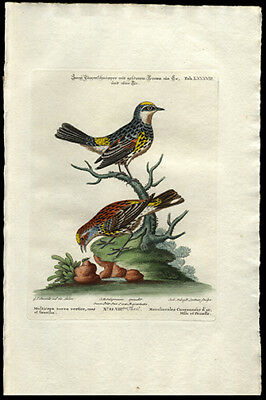 1764 Redshank Eurasian Waderl George Edwards Hand-Colored Copper Plate Engraving