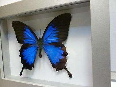 3D Shadow Box Silver Frame Real Butterfly B3405 Blue Papilio ulysses 20x15x3 cm