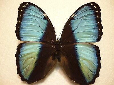 Real Dried Insect/Butterfly Non set B3870 Large Blue/Black Morpho achilles Lima