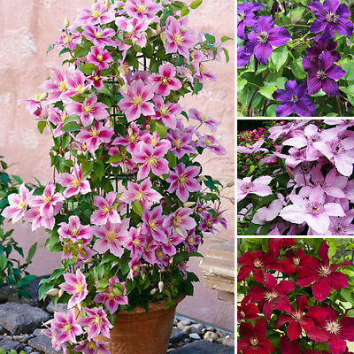 50pcs 24 Colors Mixed Clematis Climbing Plants Seeds Flower Home Garden Decor