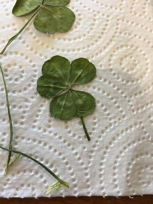 Real Genuine Five 5 Leaf Clover Lucky Charm