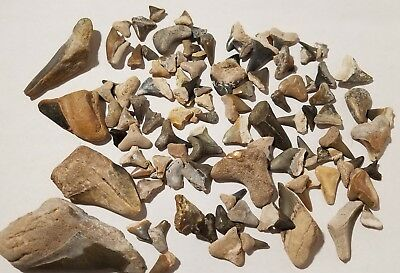 Lot of Over 100 Fossil Shark Teeth Tooth Mostly From Bone Valley Florida 7