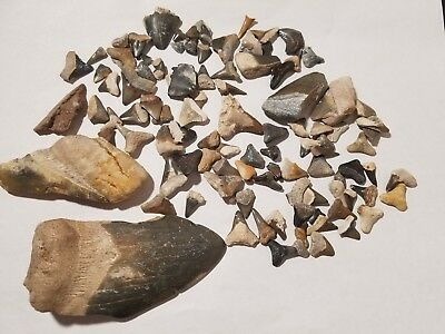 Lot of Over 100 Fossil Shark Teeth Tooth Mostly From Bone Valley Florida 16