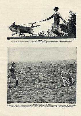 Bloodhound Dogs At Work Lovely Original Dog Print Page From 1934