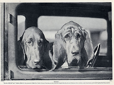 Bloodhound Kirtle Dogs At Trials Lovely Original Dog Print Page From 1934