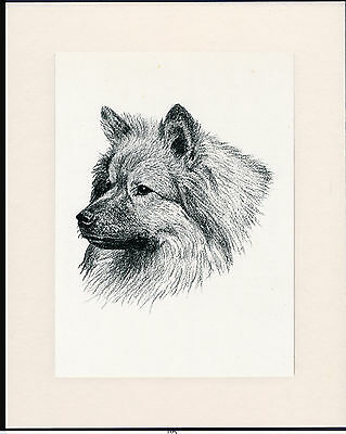 Keeshond Old Dog Head Study Print From 1935 Mounted Ready To Frame