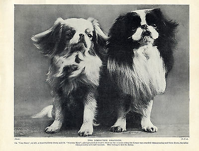 Japanese Chin Two Named Champion Dogs Lovely Old Original Dog Print From 1934