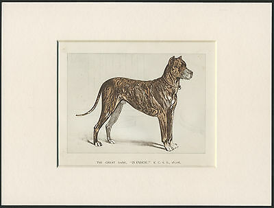 GREAT DANE RARE NAMED BRINDLE DOG OLD 1890's ANTIQUE PRINT READY MOUNTED