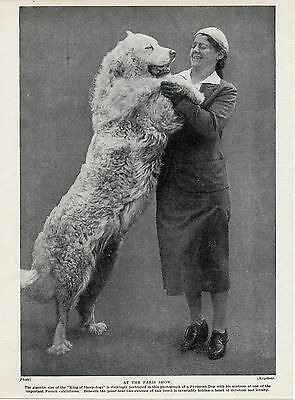 Great Pyrenees Pyrenean Mountain Dog And Lady Owner At Paris Show Old 1934 Print