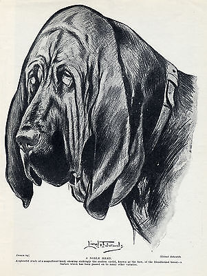 Bloodhound Head Study By Lionel Edwards Lovely Original Dog Print Page From 1934