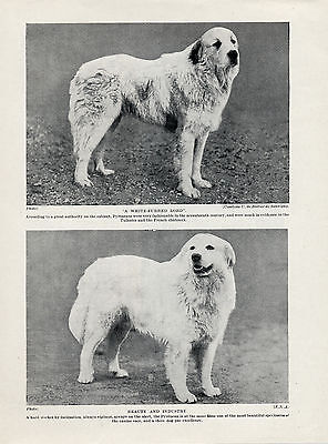 Great Pyrenees Pyrenean Mountain Dog Two Named Dogs Old 1934 Print