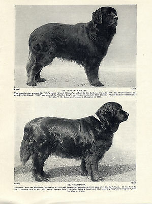 Newfoundland Two Named Champion Dogs Old Original Dog Print From 1934