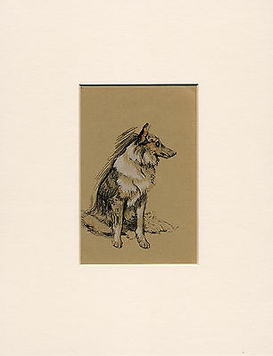 Seated Rough Collie Lovely Little 1930'S Cecil Aldin Dog Art Print Ready Mounted