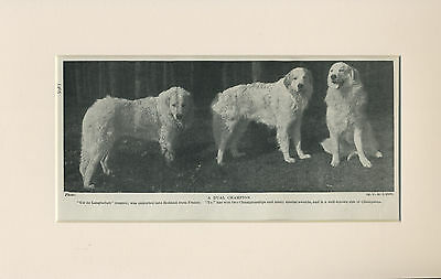 Pyrenean Mountain Dog Three Dogs Old 1930'S Print Mounted Ready To Frame