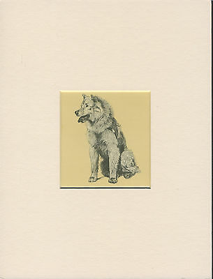 Chow Chow Old 1930'S Lovely Little Cecil Aldin Dog Print Mounted Ready To Frame