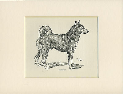 NORWEGIAN ELKHOUND OLD ANTIQUE 1912 DOG PRINT by WARDLE MOUNTED READY TO FRAME
