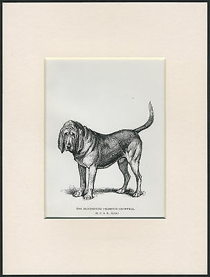 BLOODHOUND NAMED CHAMPION DOG OLD 1890's ANTIQUE DOG PRINT READY MOUNTED