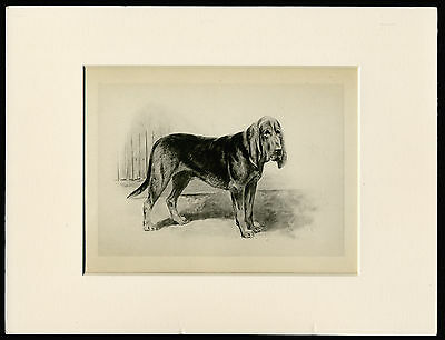 BLOODHOUND RARE 1894 ANTIQUE DOG PRINT by ARTHUR WARDLE READY MOUNTED