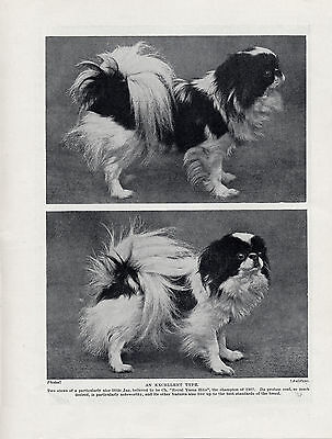 Japanese Chin Named Champion Dog Lovely Old Original Dog Print From 1934