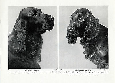 Field Spaniel Two Named Dogs Head Study Old Original Dog Print Page From 1934