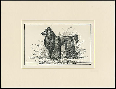 POODLE CORDED RARE ANTIQUE 1900 ENGRAVING NAMED DOG PRINT READY MOUNTED
