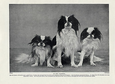 GREYHOUND LADY WITH FOUR DOGS FAWCETT KENNELS OLD ORIGINAL 1934 DOG PRINT
