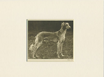 Saluki Original Vintage 1931 Dog Print Mounted Ready To Frame