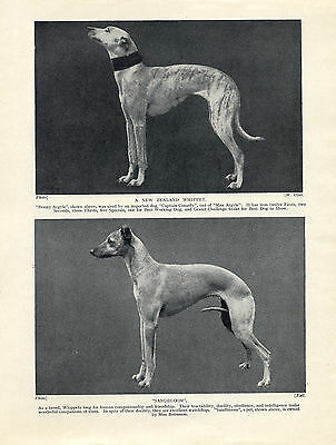 Whippet Two Named Dogs Old Vintage 1934 Dog Print