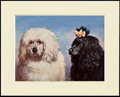 Poodle Two Dogs Head Study Lovely Dog Print Mounted Ready To Frame