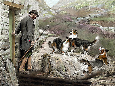Border  / Rough Collie Dogs And Shepherd Lovely Dog Print Mounted Ready To Frame