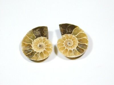 New Arrival Natural Fossilized Shell Ammonite Matched Pair Smooth Polish DB=87