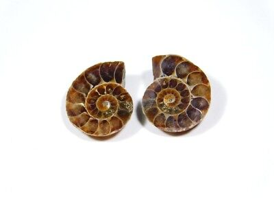 New Arrival Natural Ammonite Fossilized Shell Matched Pair Smooth Polish DB=77