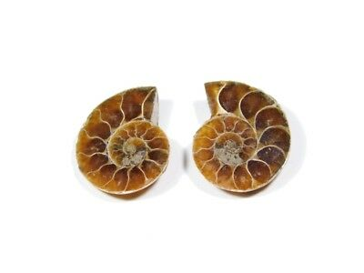 New Arrival Natural Ammonite Fossilized Shell Matched Pair Smooth Polish DB=104