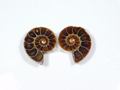 New Arrival Natural Ammonite Fossilized Shell Matched Pair Smooth Polish DB=399