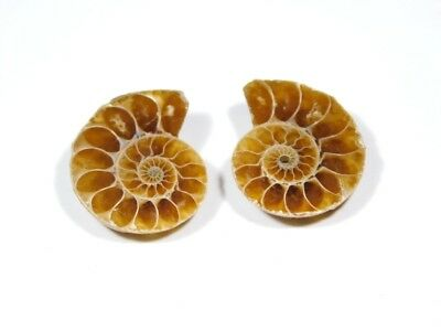 New Arrival Natural Ammonite Fossilized Shell Matched Pair Smooth Polish DB=70