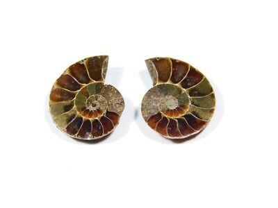 New Arrival Natural Ammonite Fossilized Shell Matched Pair Smooth Polish DB=22