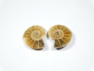 New Arrival Natural Ammonite Fossilized Shell Matched Pair Smooth Polish DB=73