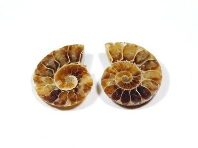 New Arrival Natural Ammonite Fossilized Shell Matched Pair Smooth Polish DB=42