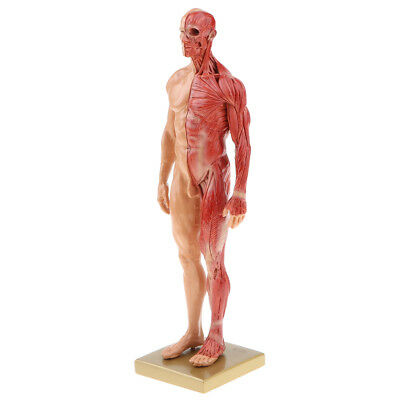Anatomical Male Muscular Skin Figure Model Human Anatomy Model Skin Color