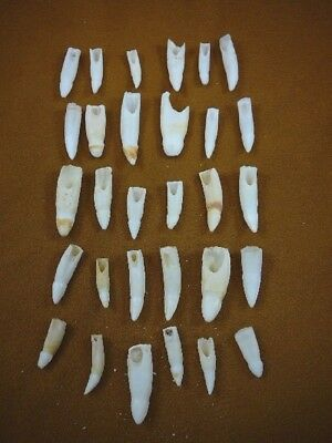 (G370-606) 30 GATOR Alligator Aligator Tooth TEETH make own jewelry mixed sizes