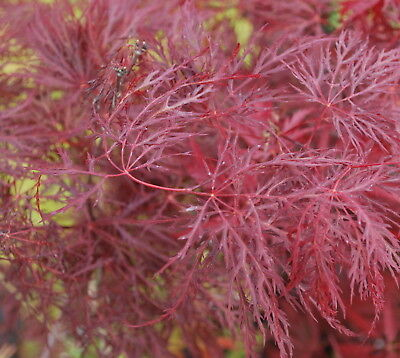 Japanese Maple Acer Red Filigree Lace Rare High Grafted