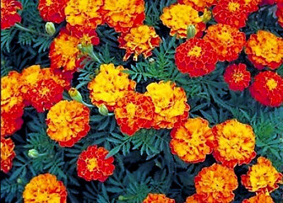 2 oz Mixed Marigold Seeds, Sparky, French Marigolds, Bulk Seeds, approx 24,000ct