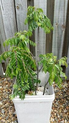 Curry Leave leaf plant tree Asian Spice 4+ plants