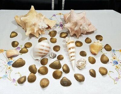 Joblot Large Queen Conch Shells Beautiful Decorative Collectable Seashell Carved