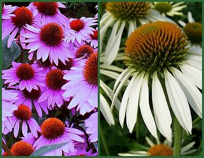 Coneflower Seed, Purple & White, 2pk Special, Wildflower Seed, Heirloom Non-GMO
