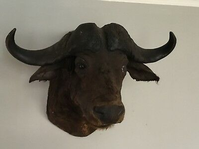 Large Taxidermy(?) Water Buffalo Wall Mount