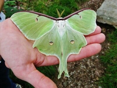 1X Live Luna Moth Cocoon For Hatching